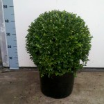 Buxus 35cm bol - Faulkner