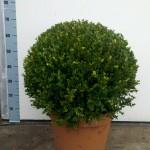 Buxus 50cm bol - Faulkner