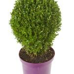 Buxus Ei-vorm 45cm p29