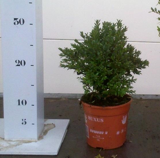 Buxus Green Velvet 15-20cm p13