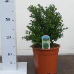 Buxus Green Velvet 20-25cm p17