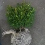 Buxus Green Velvet 20cm kluit Piets Heggetjes