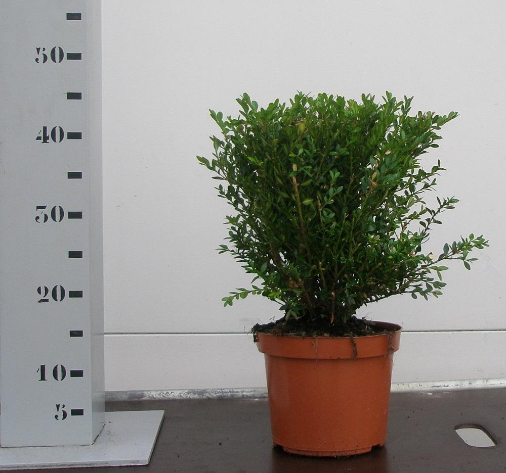 Buxus Green Velvet 30-35cm p19