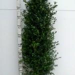 Buxus Heggetjes 100cm Hollandia met kluit