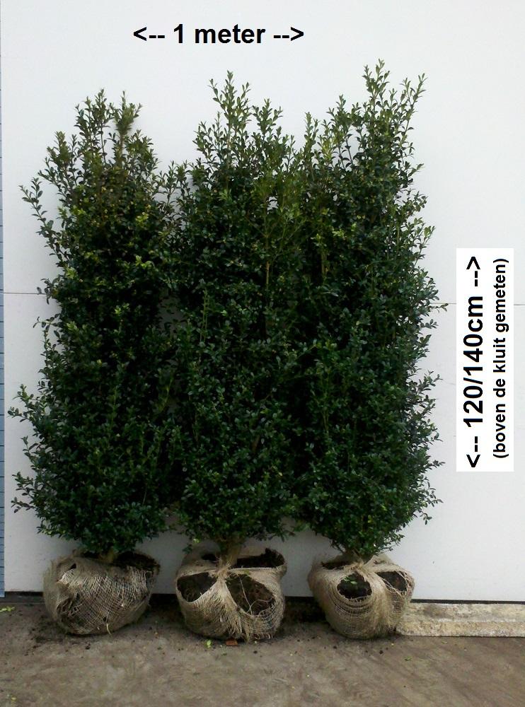 Buxus Heggetjes 120-140cm Hollandia met kluit