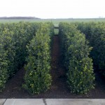 Buxus Heggetjes 120-140cm Hollandia vollegrond