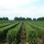 Buxus Heggetjes 60cm Sempervirens vollegrond