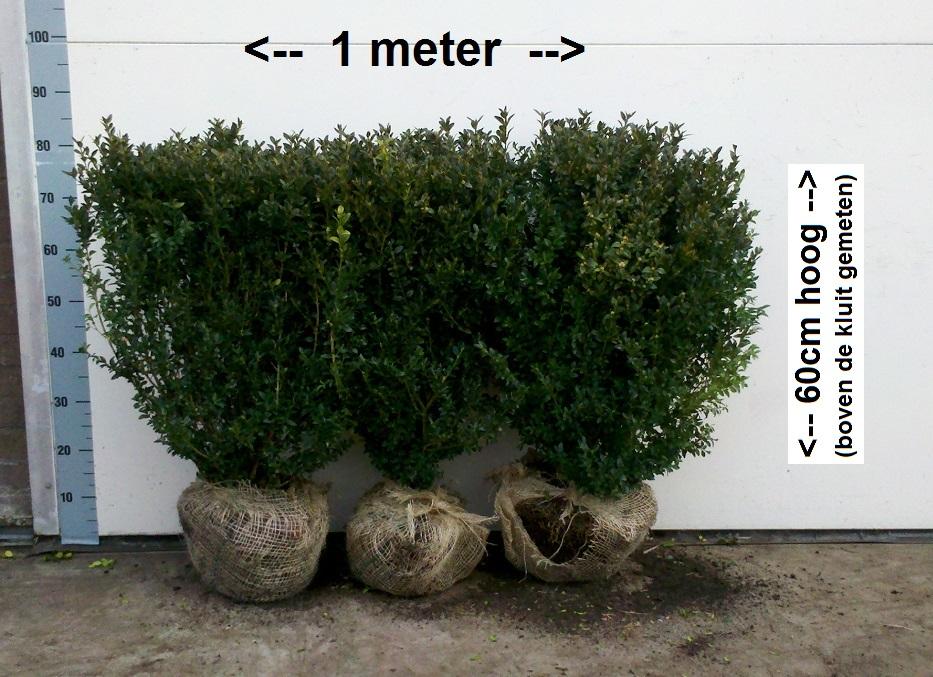 Buxus Heggetjes 60cm Sempervirens met kluit