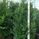 Buxus Sempervirens 100cm p45