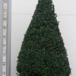 Buxus Sempervirens 100cm piramide deco 50cm pot