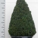 Buxus Sempervirens 100cm piramide p45