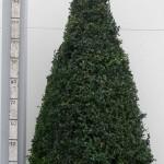 Buxus Sempervirens 110-120cm piramide p45