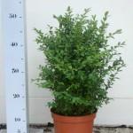 Buxus Sempervirens 30-40 p19