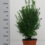 Buxus Sempervirens 40-50 p19