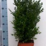 Buxus Sempervirens 50-60 c5-vierkant p19