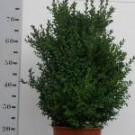 Buxus Sempervirens 50-60 c6