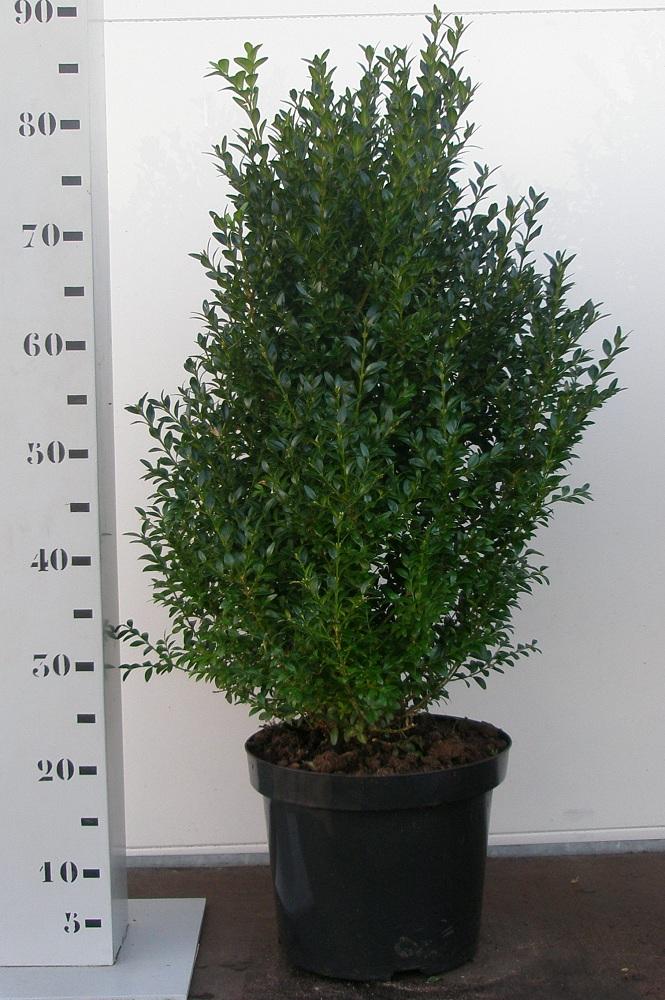 Buxus Sempervirens 60-70 p26