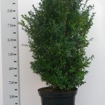 Buxus Sempervirens 60-80 p29 extra dik