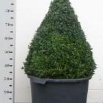 Buxus Sempervirens 70cm piramide p45