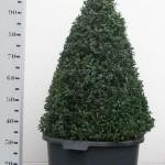 Buxus Sempervirens 80cm piramide p45