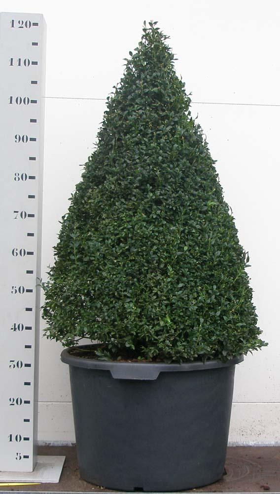 Buxus Sempervirens 90cm piramide p45
