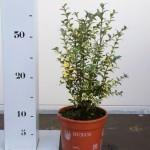 Buxus Sempervirens Elegans 20-25 p13