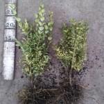 Buxus Sempervirens Elegans 20-25cm wortelgoed