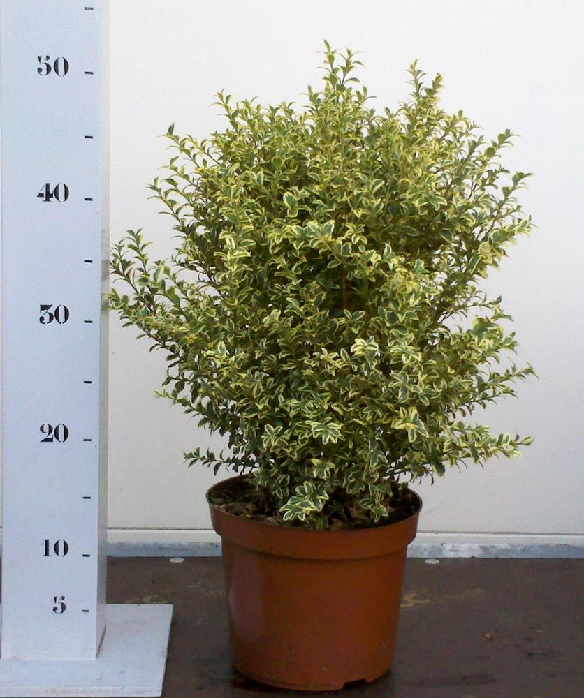 Buxus Sempervirens Elegans 30-40 p19