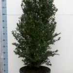 Buxus Sempervirens Hollandia 100cm c23