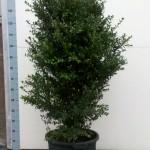 Buxus Sempervirens Hollandia 120cm c30