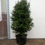 Buxus Sempervirens Hollandia 130-150cm c48