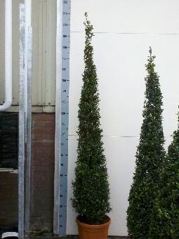 Buxus Sempervirens Hollandia piramide 140-160cm c15