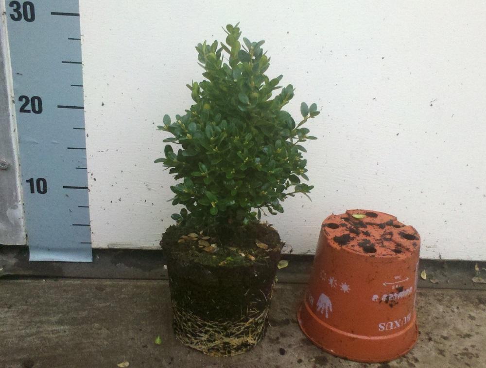 Buxus Sempervirens Suffruticosa 15-20 p13 potgekweekt