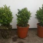 Buxus Sempervirens Suffruticosa 20-25cm p17