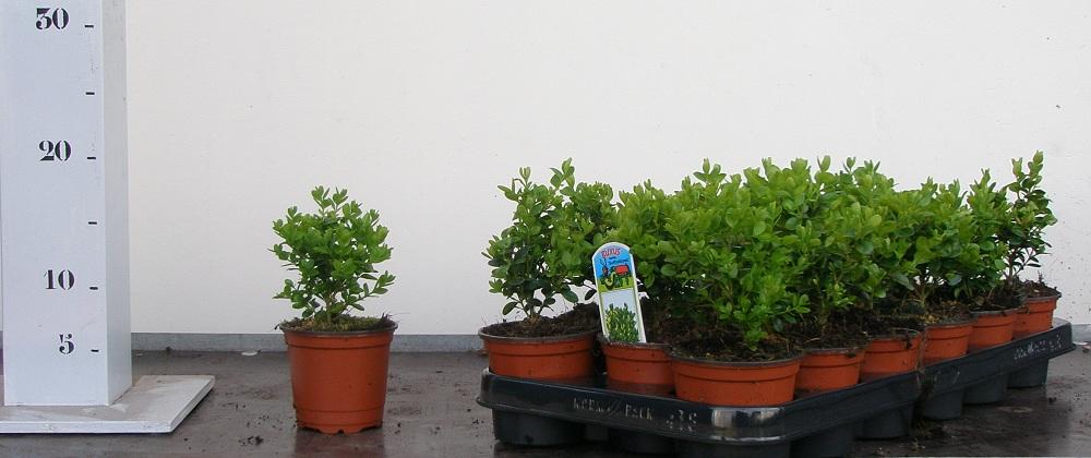 Buxus Sempervirens Suffruticosa p9