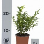 Buxus Sempervirens p9