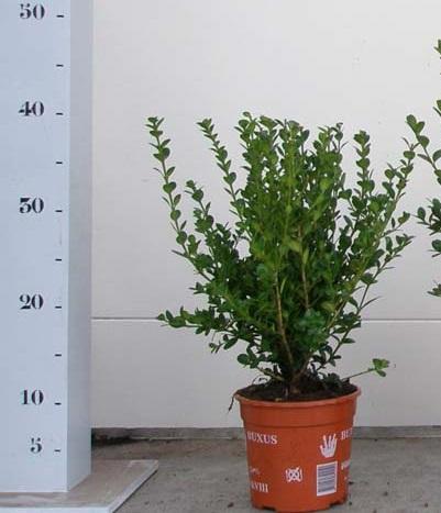 Buxus microphylla Faulkner 20-25 p13
