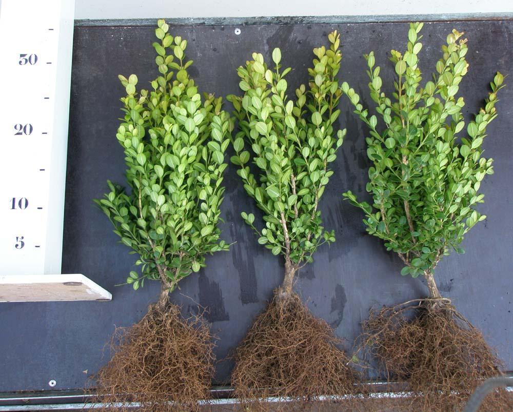 Buxus microphylla Faulkner 25-30 wortelgoed