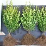 Buxus microphylla Faulkner 30-40 wortelgoed