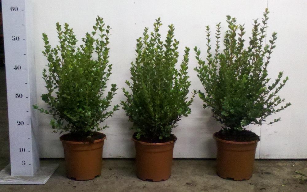 Buxus microphylla Faulkner 30-40cm p17