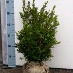 Buxus microphylla Faulkner 40-50cm diameter 25-30cm