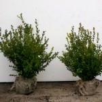 Buxus microphylla Faulkner 40-50cm diameter 30-35cm