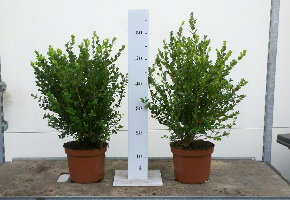 Buxus microphylla Faulkner 40-50cm p19