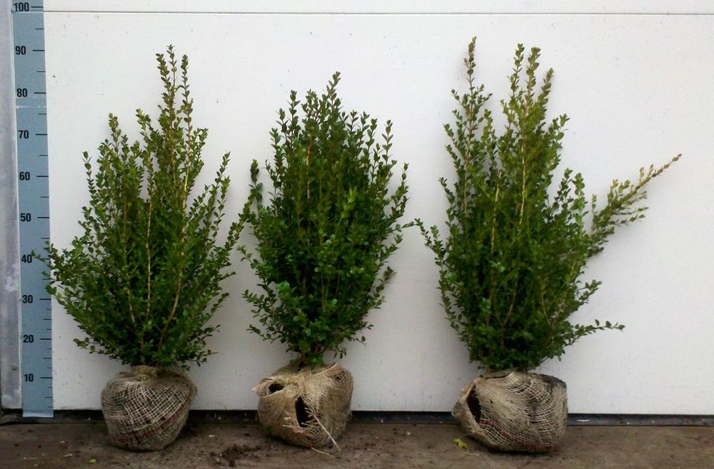 Buxus microphylla Faulkner 50-60cm