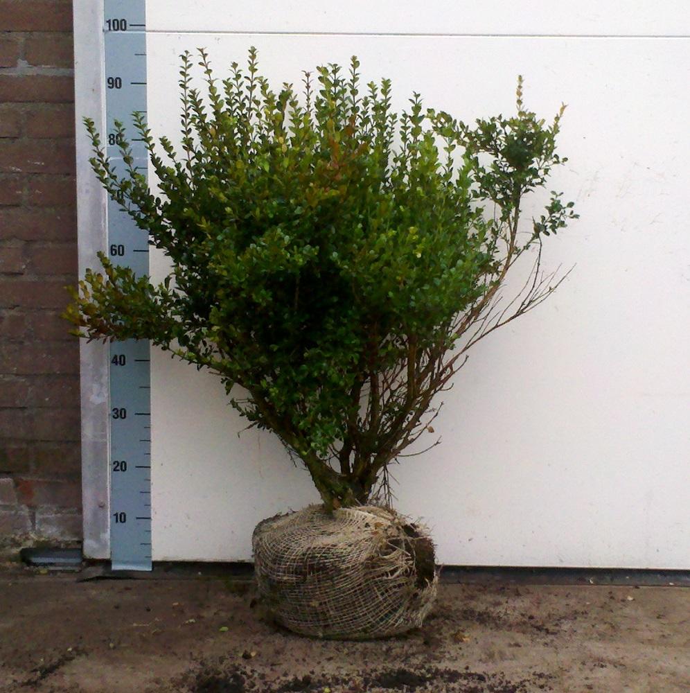 Buxus microphylla Faulkner 60cm diameter 50cm