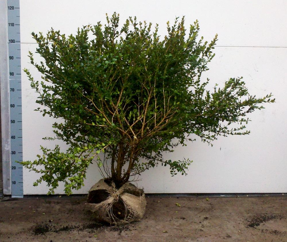 Buxus microphylla Faulkner 80cm diameter 6070cm