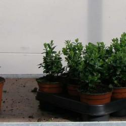 Buxus sempervirens Blauer Heinz 8-10 p9