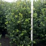 Buxus sempervirens Hollandia struik 125-150 d80-90