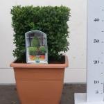 25cm kubus in vierkante 25cm pot