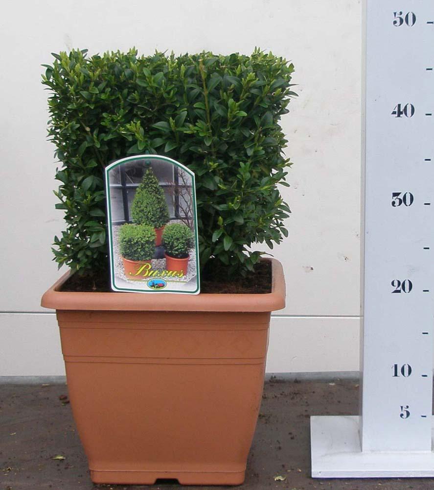 buxus kubus 25cm-25cm pot